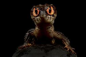 Red eyed crocodile skink     Tribolonotus gracilis photo