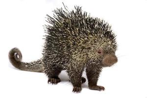 Brazilian porcupine     Coendou prehensilis photo
