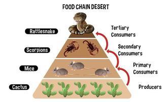 Diagrama que muestra la cadena alimentaria del desierto para la educación. vector