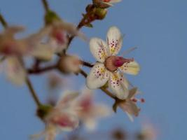 Closeup of a single London pride flower photo