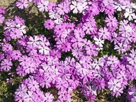 Rosa phlox arrastrándose flowerng en un jardín de rocas foto