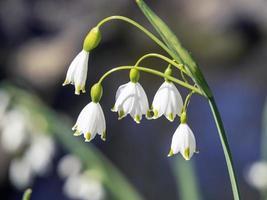 Primer plano de bonitas flores blancas de copo de nieve de primavera foto