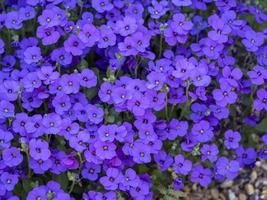 Clump of pretty purple Aubrieta flowers in a garden photo