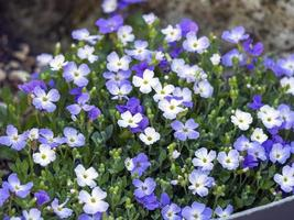Blue and white Aubrieta flowers in a garden photo