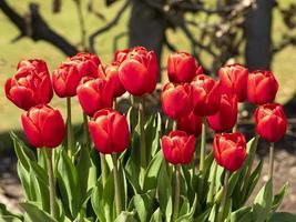 Beautiful bright red tulips Verandi flowering in a park photo