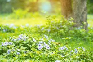 Campo de paisaje de pequeñas flores de color púrpura y arbustos verdes en un jardín al aire libre con un viejo árbol borrosa en el fondo foto