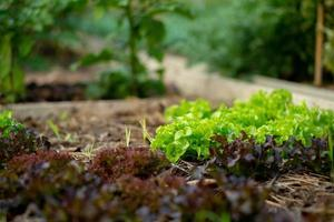 Close up of lettuce growing in the ground at the organic farm of a backyard in a house. Fresh and organic food for the home kitchen photo