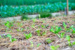 Close up of little lettuces growing in the nursery area of the organic farm at the backyard of a house photo