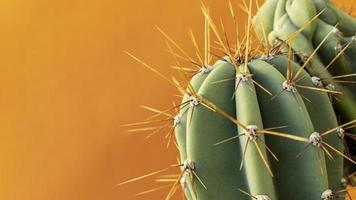 Close-up of cacti on a yellow background photo