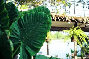 El enfoque selectivo en la hoja verde de la oreja de elefante con el fondo de estructura borrosa foto