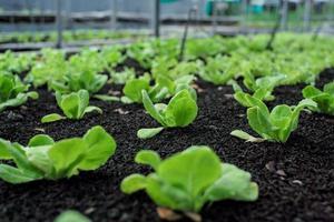 Primer plano poco vegetal orgánico cultivado en la bandeja de vivero en la granja con grupo de verduras borrosa en segundo plano. foto