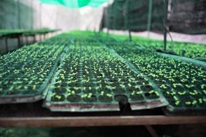 Los árboles de hortalizas jóvenes crecen en la bandeja de vivero de plástico en la granja orgánica foto