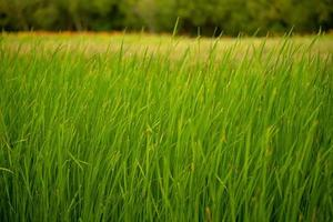 Closeup field and meadow of Lesser reedmace for waste water treatment system photo