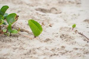 Closeup picture of biennial plants on the beach. Morning glory grows at seaside photo
