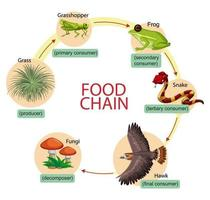 Diagram showing food chain vector