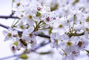 A bee flying over an almond flower photo