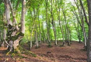 Sabaduri forest trees photo