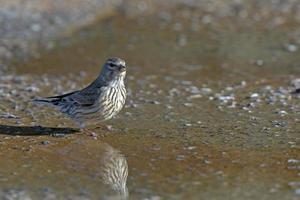 Common linnet in water photo