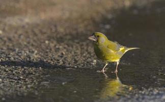 European greenfinch walking in water photo