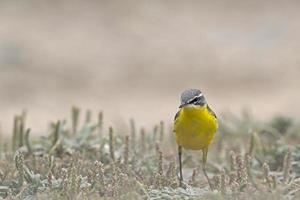 Western yellow wagtail photo