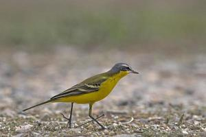 Western yellow wagtail on the ground photo