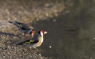 European goldfinch near the water photo
