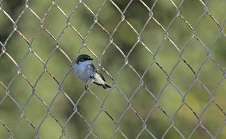 European pied flycatcher on a fence photo