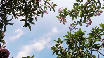 árbol de frangipani en verano video