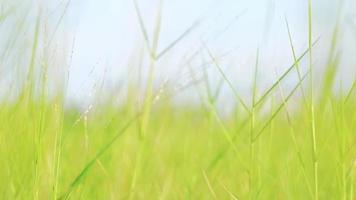 Prado soplado por el viento en verano o primavera. video
