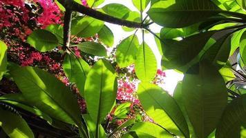 frangipani y árbol de flores de papel en verano o primavera video