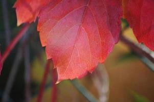hojas rojas en primavera con fondo de naturaleza foto
