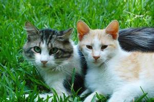 gato con su marido en la hierba, gato abrazando gato foto