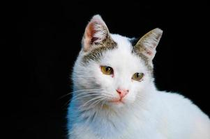 Cute baby white kitten on a black background photo