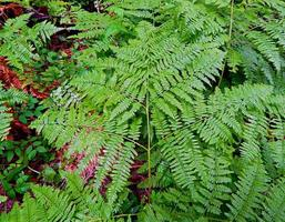 Natural Pattern - A fern design in the forest by Davis Creek - west of Camp Sherman, OR photo