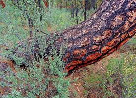 Odd Trunk - A strange Ponderosa pine scene at Indian Ford Campground - northwest of Sisters, OR photo
