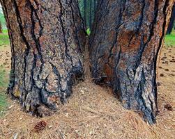 Pine Twins - A double-growth Ponderosa by Cold Springs Campground - west of Sisters, OR photo
