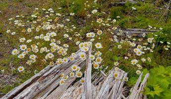 Woodland Daisies - A daisy patch in the forest along Whitewater Creek - Cascade Range - east of Idanha, OR photo