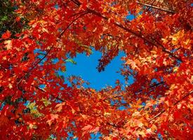 Leaves Around the Blue - An October maple scene - Bend, OR photo