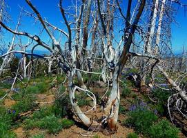 Quemado sobre restos de árboles en una cresta al oeste de Three Creek Lake cerca de Sisters, o foto