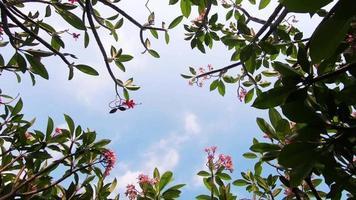 árbol de frangipani en verano o primavera video