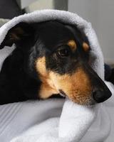 adorable perro cubierto con una toalla foto