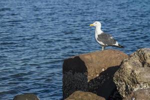 Seagull bird on a rock in the Malecon of La Paz, Baja California Sur Mexico photo