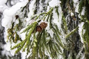 Iced Pine Cone photo