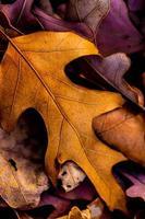 Closeup of beautiful intricate leaves of Fall foliage photo