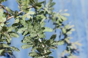 Green pine branch photo