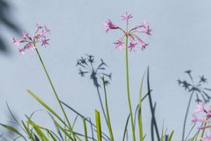 Purple iris flowers photo
