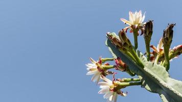 cactus floreciendo con cielo azul foto