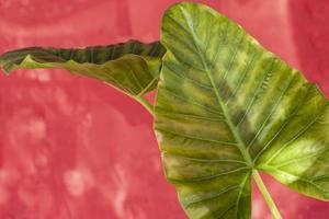 Planta monstera sobre fondo rojo. foto