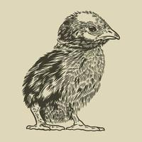 Vector baby chick hand drawn in vintage engraving or etching style. Chicken farm animal sketch concept. Little cute baby chicken. Old retro style. Vector illustration art image