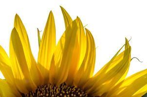 Bright yellow sunflower close up photo